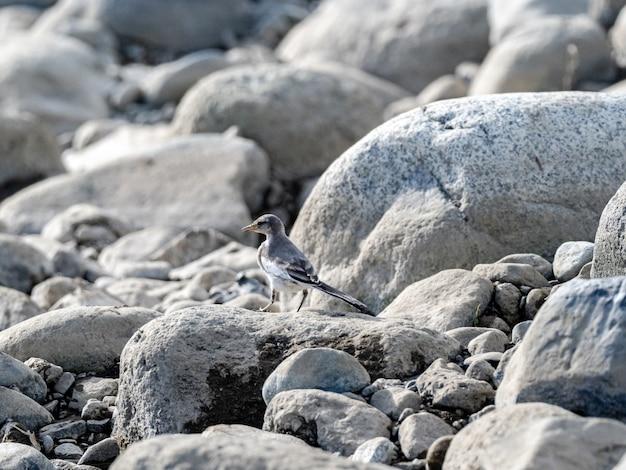 Foto de foco seletivo de uma alvéola branca (motacilla alba) empoleirada na pedra