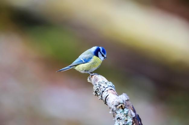 Foto de foco seletivo de uma andorinha azul fofa sentada em uma vara de madeira com um fundo desfocado