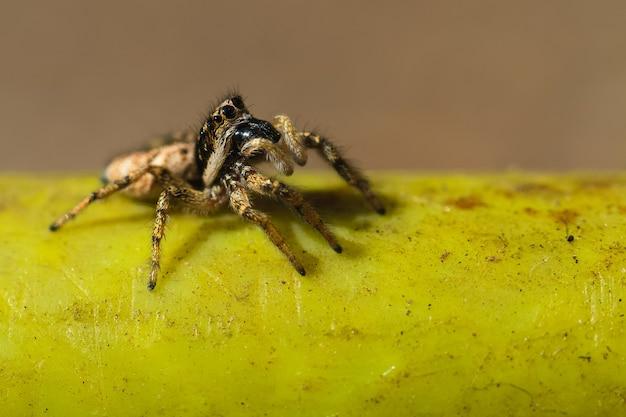 Foto de foco seletivo de uma aranha saltadora em uma superfície verde
