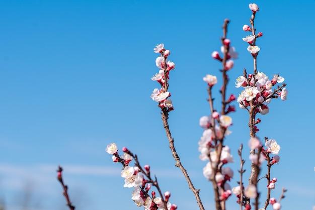 Foto de foco seletivo de uma árvore de damasco em flor com um céu azul claro