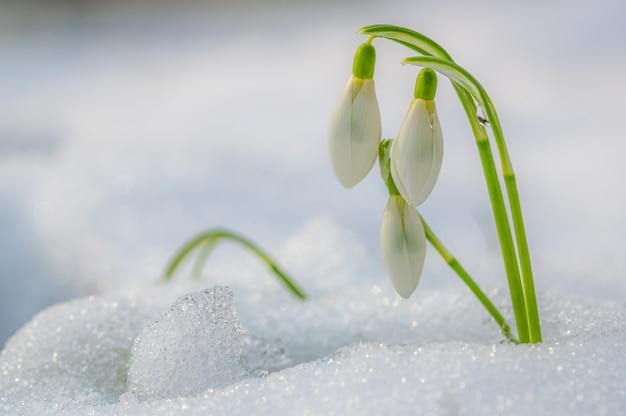 Foto de foco seletivo de uma bela flor de floco de neve