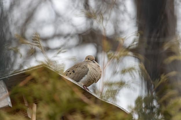 Foto de foco seletivo de uma bela pomba de luto descansando em uma superfície de madeira