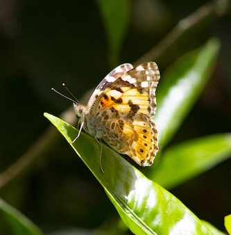 Foto de foco seletivo de uma borboleta amarela pintada em uma folha verde