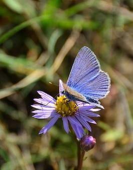 Foto de foco seletivo de uma borboleta azul em uma flor pequena
