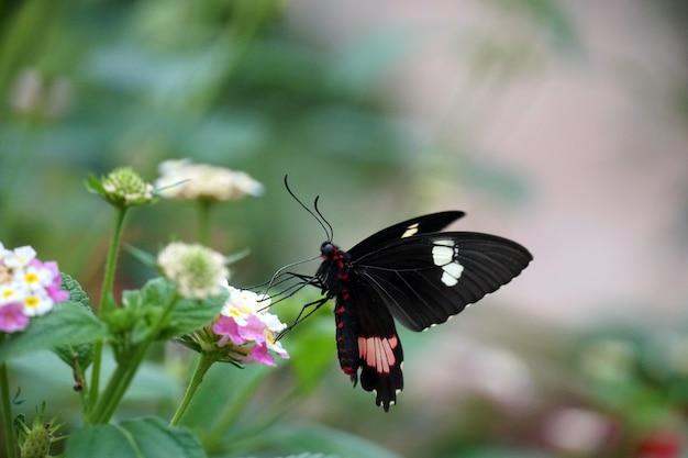 Foto de foco seletivo de uma borboleta em forma de coração de gado empoleirada em uma flor rosa