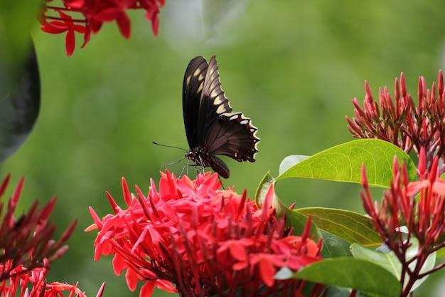 Foto de foco seletivo de uma borboleta empoleirada em uma flor ixora vermelha
