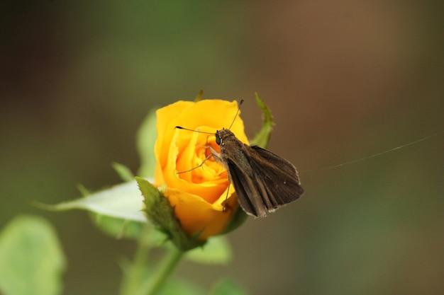 Foto de foco seletivo de uma borboleta empoleirada em uma rosa amarela