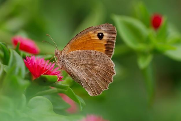 Foto de foco seletivo de uma borboleta marrom em uma flor rosa