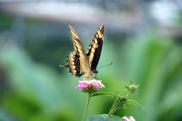 Foto de foco seletivo de uma borboleta rabo de andorinha do velho mundo empoleirada em uma flor rosa claro