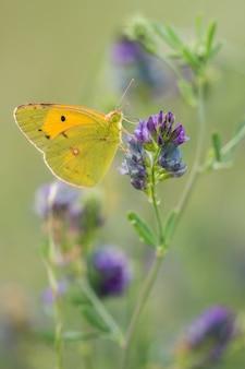 Foto de foco seletivo de uma borboleta verde e amarela em uma flor de lavanda