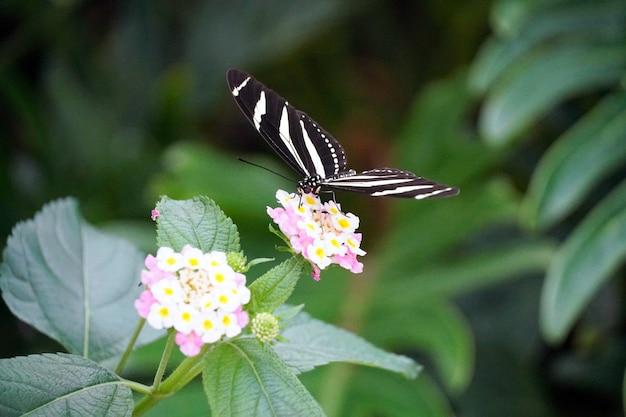 Foto de foco seletivo de uma borboleta zebra longwing empoleirada em uma flor rosa claro
