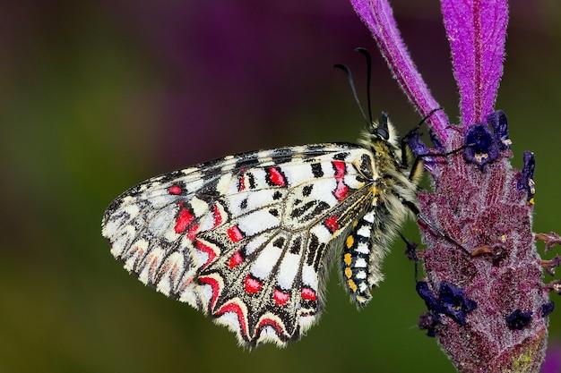 Foto de foco seletivo de uma borboleta zerynthia rumina ou festão espanhola em uma flor
