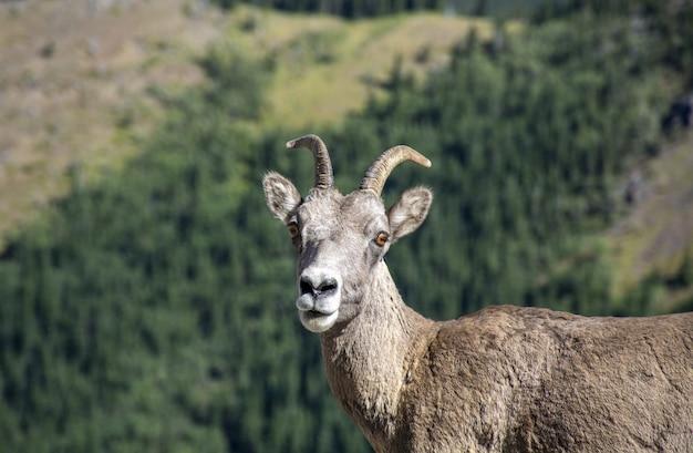 Foto de foco seletivo de uma cabra com uma floresta na parede
