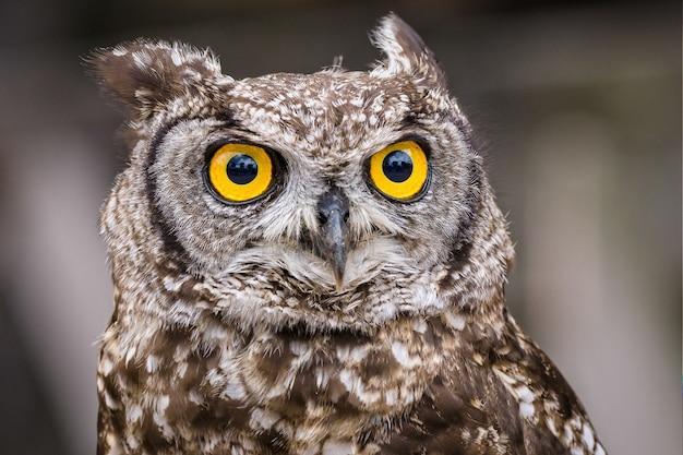 Foto de foco seletivo de uma coruja com grandes olhos amarelos