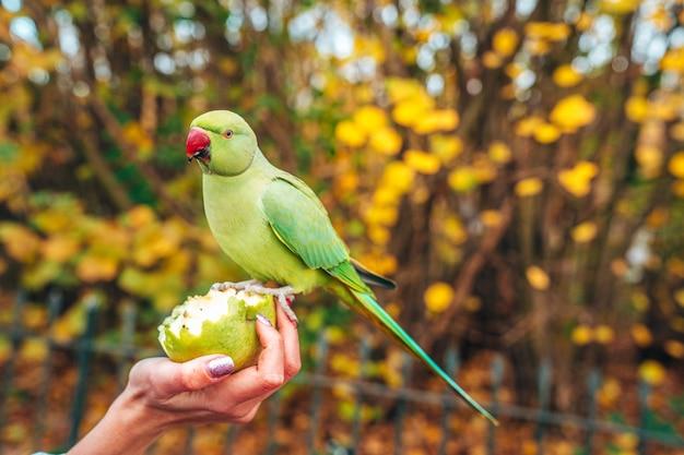Foto de foco seletivo de uma fêmea alimentando um papagaio verde com uma maçã