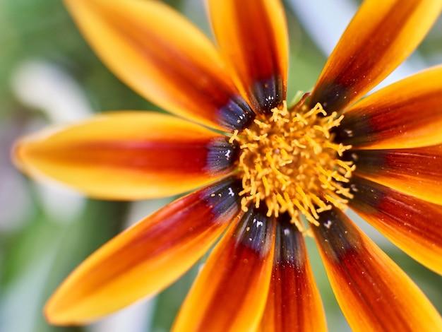 Foto de foco seletivo de uma flor alaranjada da margarida africana
