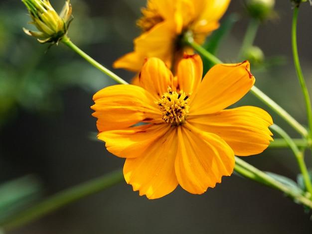 Foto de foco seletivo de uma flor dourada do cosmos