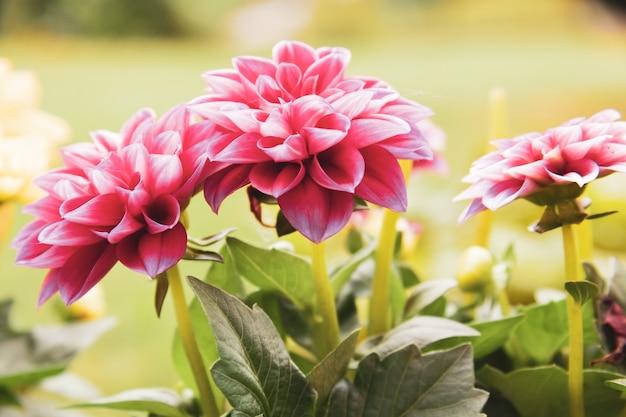 Foto de foco seletivo de uma flor rosa desabrochando