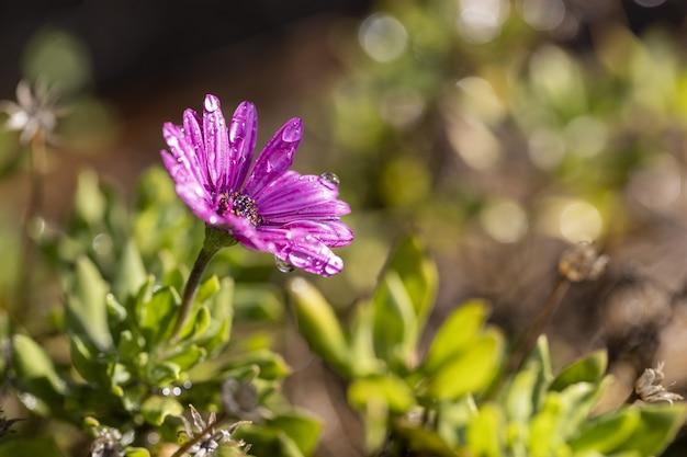 Foto de foco seletivo de uma flor roxa de osteospermum com gotas de água