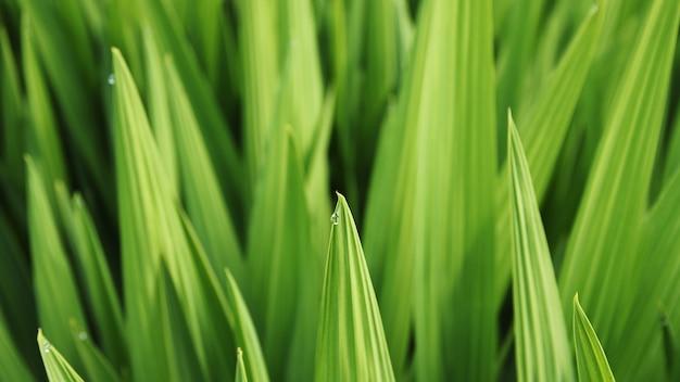 Foto de foco seletivo de uma folha de grama com orvalho matinal