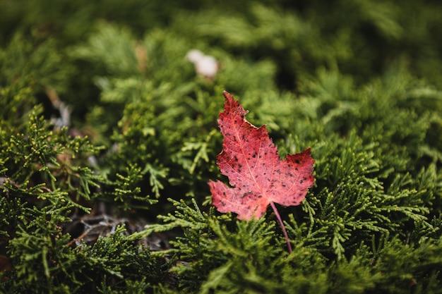 Foto de foco seletivo de uma folha vermelha