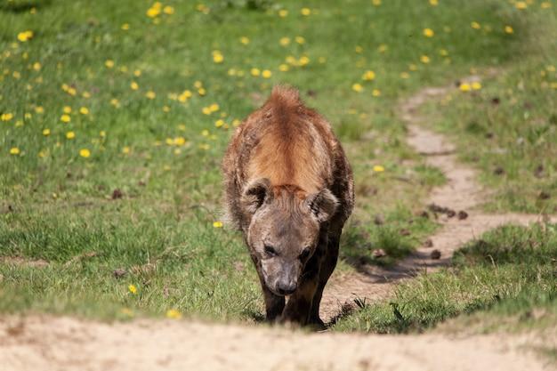 Foto de foco seletivo de uma hiena subindo a colina em um zoológico holandês