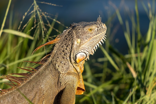 Foto de foco seletivo de uma iguana em uma pastagem