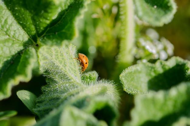 Foto de foco seletivo de uma joaninha cabaça em uma planta de pepino esguichando no interior de malta