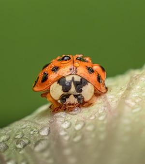 Foto de foco seletivo de uma joaninha laranja empoleirada em uma folha verde com gotas de água