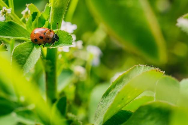 Foto de foco seletivo de uma joaninha na folha de um campo, capturada em um dia ensolarado