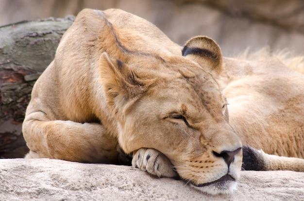 Foto de foco seletivo de uma leoa dormindo em um zoológico