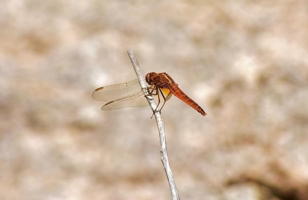 Foto de foco seletivo de uma libélula laranja em um galho