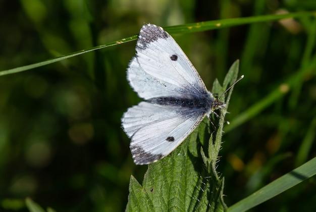 Foto de foco seletivo de uma linda borboleta branca em uma folha verde