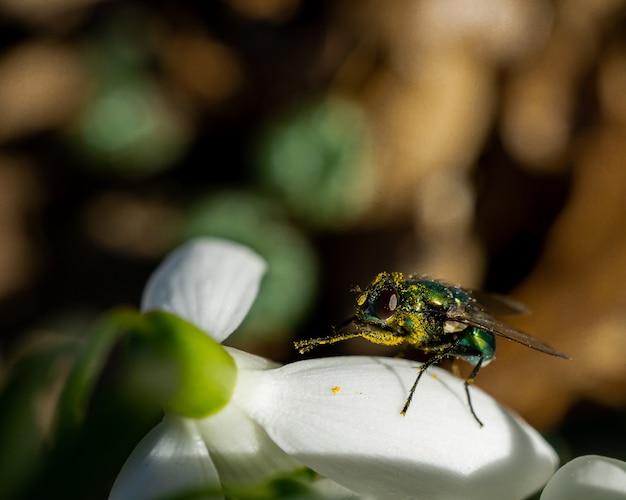 Foto de foco seletivo de uma mosca colorida em uma flor branca de floco de neve