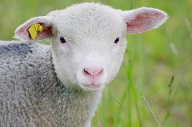 Foto de foco seletivo de uma ovelha branca fofa no meio de um terreno coberto de grama