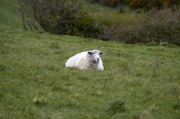 Foto de foco seletivo de uma ovelha branca sentada no campo verde