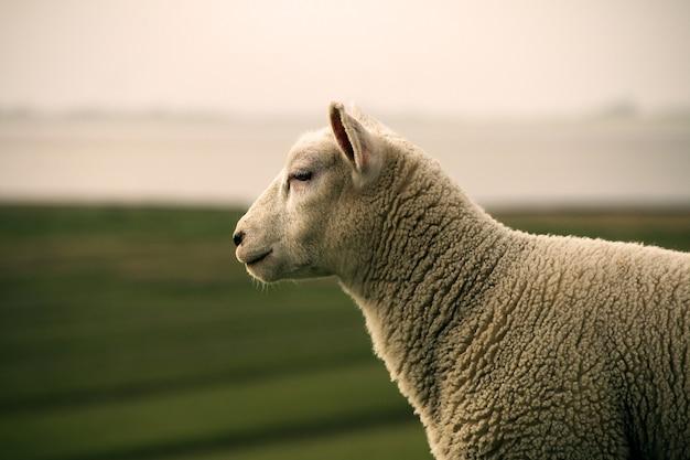 Foto de foco seletivo de uma ovelha branca