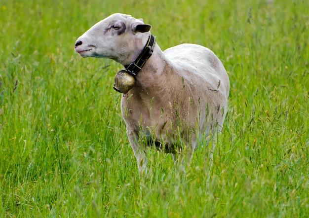 Foto de foco seletivo de uma ovelha em um campo de grama verde