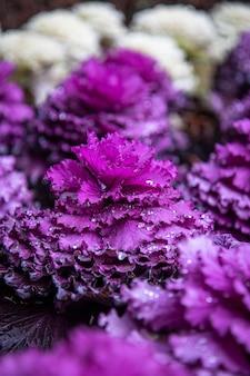 Foto de foco seletivo de uma planta roxa com gotas de água