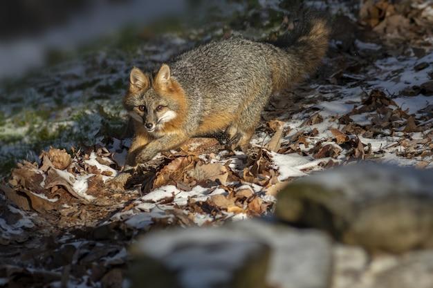 Foto de foco seletivo de uma raposa olhando
