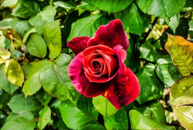 Foto de foco seletivo de uma rosa vermelha cercada por folhas verdes sob a luz do sol