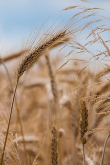 Foto de foco seletivo de uma safra de trigo no campo