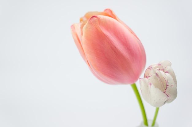 Foto de foco seletivo de uma tulipa rosa