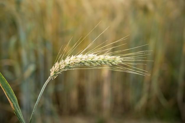 Foto de foco seletivo de uma única planta de cevada atrás do campo