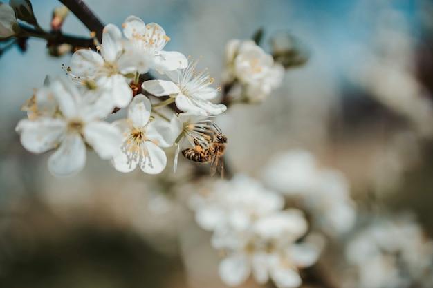 Foto de foco seletivo de uma vespa em uma flor de cerejeira