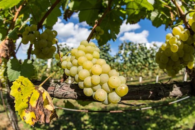 Foto de foco seletivo de uma videira com uvas maduras