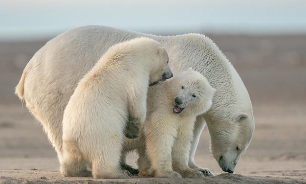 Foto de foco seletivo de ursos polares