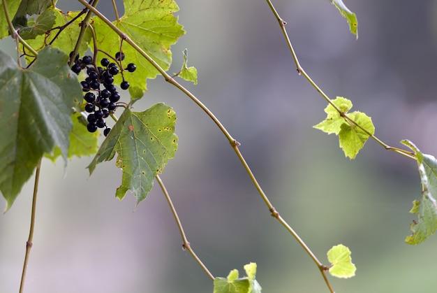Foto de foco seletivo de uva nos galhos
