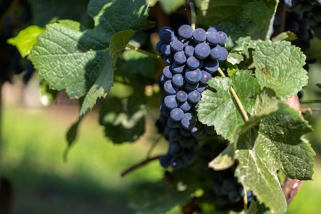 Foto de foco seletivo de uvas presas ao galho durante o dia