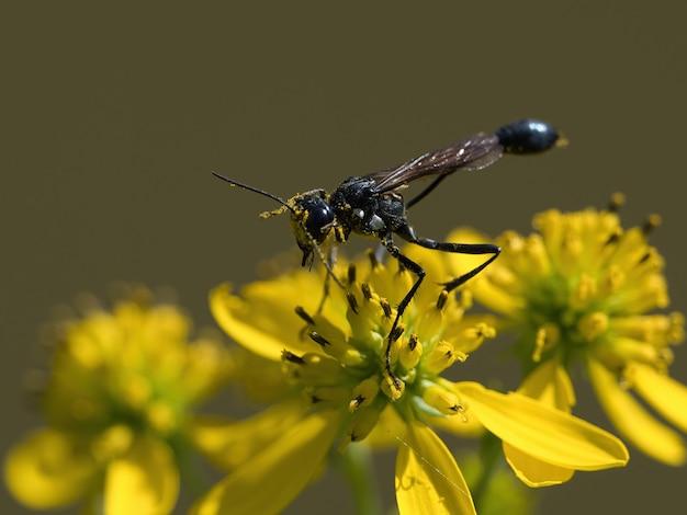 Foto de foco seletivo de vespas ammophila em uma flor amarela